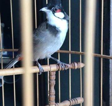 Chim chào mào                 tại Đồng Nai