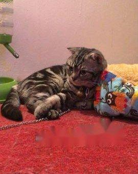 Bán mèo Scottish                 tại Hà Nội