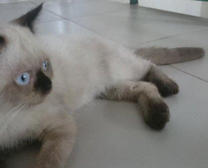 Mèo Himalaya                 tại Bình Dương