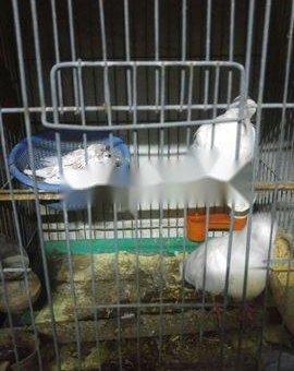 Chim cu pháp sinh sản                 tại TP Hồ Chí Minh