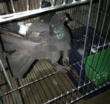 Chim đang đe . Mua hết tặng lồng                 tại TP Hồ Chí Minh