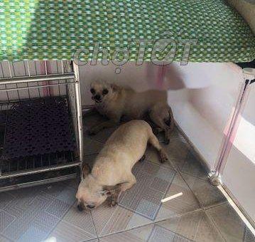 chihuahua thuần chủng cái bán gấp                 tại Hà Nội