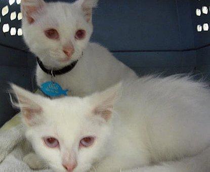 Mèo bạch tạng                 tại Đồng Nai