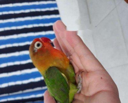 Vẹt love bird                 tại TP Hồ Chí Minh