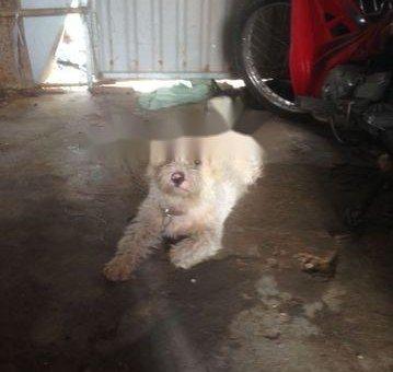 Bán chó xù Bắc Kinh                 tại TP Hồ Chí Minh