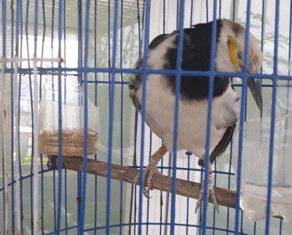 Chim cưỡng                 tại Bình Dương