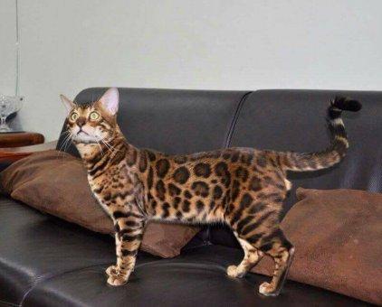Mèo Bengal                 tại Hà Nội