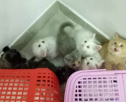 Bán đàn 7 bé mèo xinh                 tại TP Hồ Chí Minh