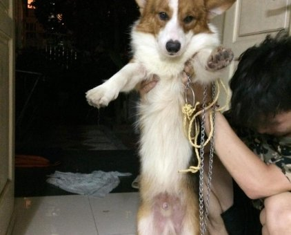 Chó Corgi đực                 tại Hà Nội