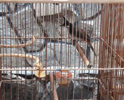 chim đít đỏ mồng lân                 tại TP Hồ Chí Minh