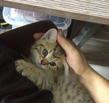 Bán mèo Anh lai                 tại TP Hồ Chí Minh