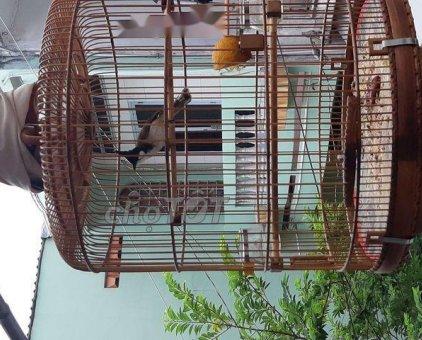 Chim chóp mào                 tại TP Hồ Chí Minh
