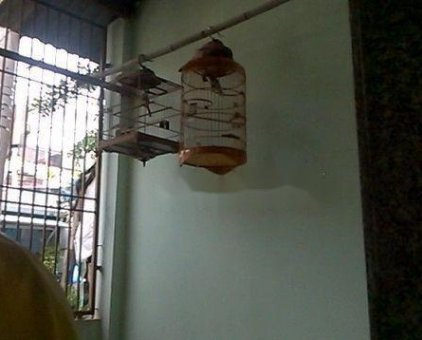 chim chào mào lụp                 tại TP Hồ Chí Minh
