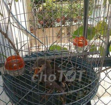 Bán chim cưỡng non                 tại TP Hồ Chí Minh