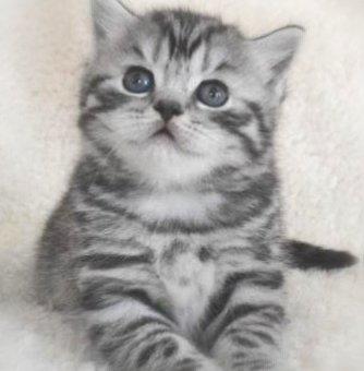 Giống mèo Scottish classic tabby vằn Mỹ siêu đáng yêu, giá siêu rẻ                 tại Hà Nội
