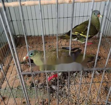 Chim Cu xanh                 tại Tây Ninh