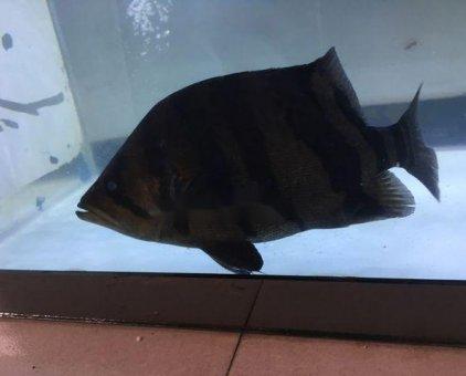 Bán cá hổ Indo size 25                 tại TP Hồ Chí Minh