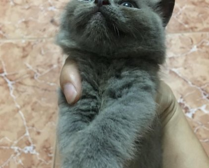 Mèo ALN thuần                  tại Hà Nội