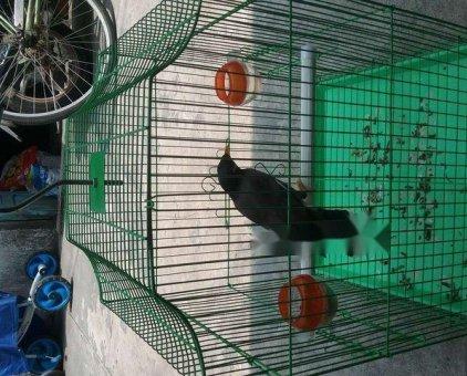 Bán chim sáo nâu                 tại TP Hồ Chí Minh