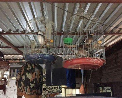 Chim sáo nâu                 tại TP Hồ Chí Minh