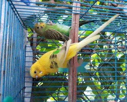 chim yến phụng đã ghép đôi                 tại Hà Nội