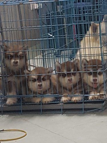 Đàn Alaska nâu đỏ chó nhà đẻ tại Hà Nội