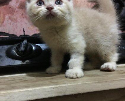Mèo Anh lông ngắn bi cream                 tại Hà Nội