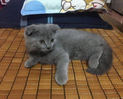 Mèo ALN xám xanh cái tai cụp 3 tháng tuổi                 tại Hà Nội