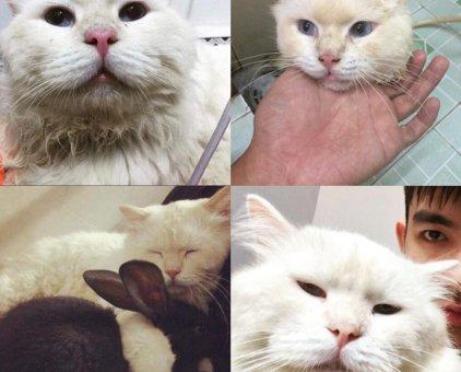 Mèo Anh lông dài đực trưởng thành                  tại TP Hồ Chí Minh