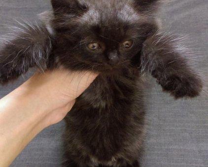 [Thái Nguyên] tìm chủ bé mèo Ba Tư lai Anh lông dài                 tại Thái Nguyên