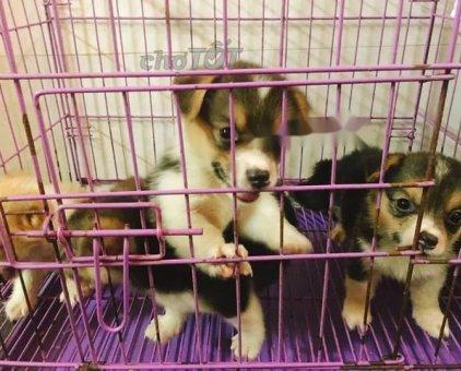 Bán đàn chó CORGI                 tại Hà Nội