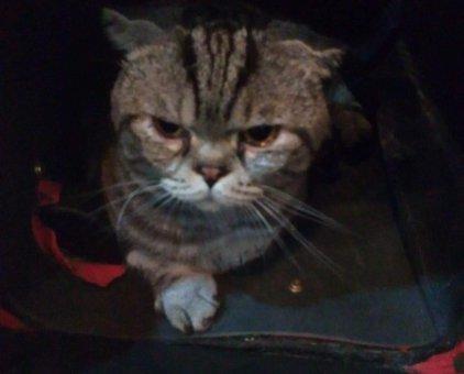 Mèo Scotish đực 2,5 tuổi                 tại Hà Nội