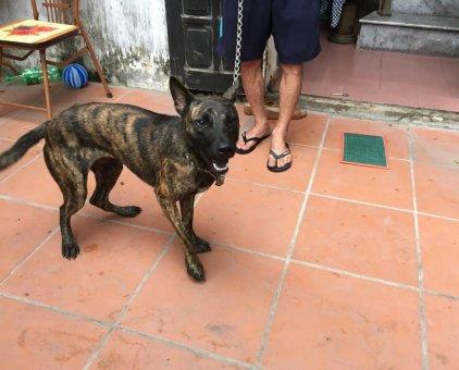 Cần bán chó Phú Quốc                 tại Hà Nội