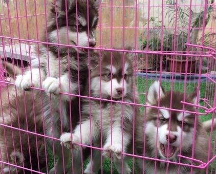 Cần bán Alaska nâu đỏ lai Husky 2 tháng                 tại TP Hồ Chí Minh