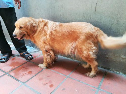 Chó Golden Retriever cái trưởng thành tại Hà Nội
