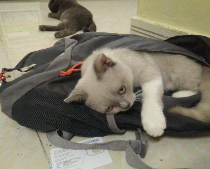 Bán mèo Anh bicolor + hyma                 tại TP Hồ Chí Minh