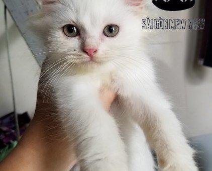 Bán 2 bé mèo ALD thuần chủng                 tại TP Hồ Chí Minh
