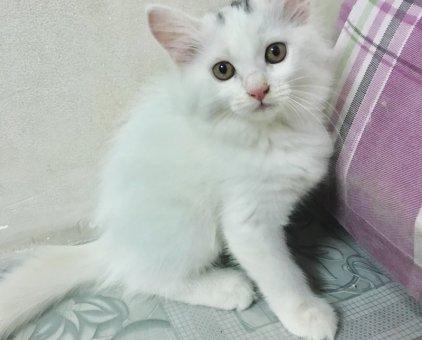 Bé mèo trắng Anh lông dài thuần chủng                 tại TP Hồ Chí Minh