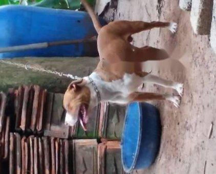 Chó pitbull thuần chủng                  tại Hà Nội