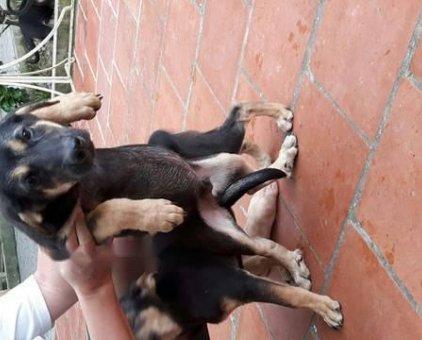 Bán chó béc đẹp, huyền đề                 tại Hà Nội