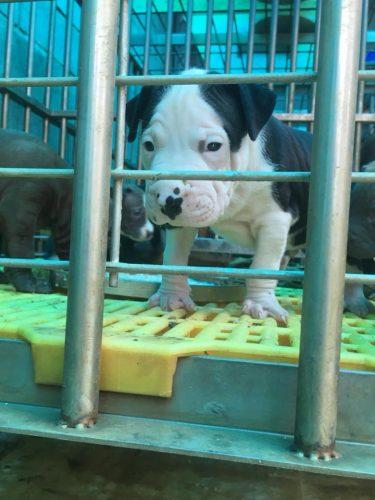 QUẬN 9 -TPHCM bán đàn pitbull thuần chủng bố MỸ, tại Hồ Chí Minh