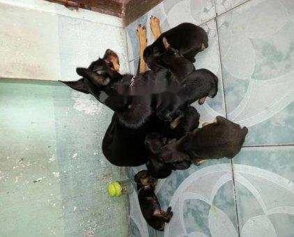 Chó phóc minpin                 tại Thừa Thiên Huế