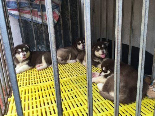 Bán 1 đàn Alaska nâu đỏ oversize và 1 đàn Samoyed chó nhà đẻ tại Hà Nội