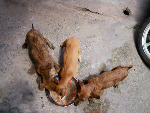 Nguyên bầy phú quốc vện lưỡi đen giá rẻ 3t tại Hồ Chí Minh