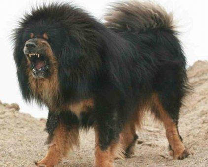 Chó ngao Tây Tạng trên 1 năm                 tại TP Hồ Chí Minh