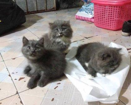 Mèo Anh lông ngắn, mèo Anh lông dài                 tại Hà Nội