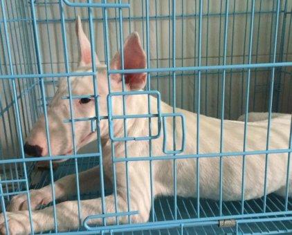 Bull terrier                 tại Hải Phòng