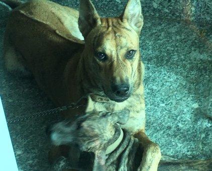 Chó Phú Quốc thuần chủng                 tại TP Hồ Chí Minh