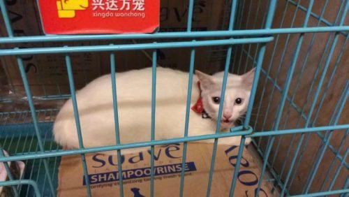 CẦN MUA: mèo Nga lai ta 2 màu mắt tại Hà Nội tại Hà Nội