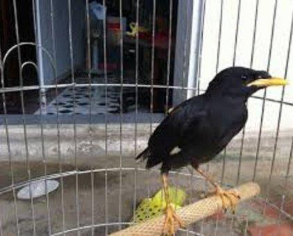 Chim sáo đen                 tại Hà Nội